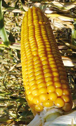 kaskad kukuruza
