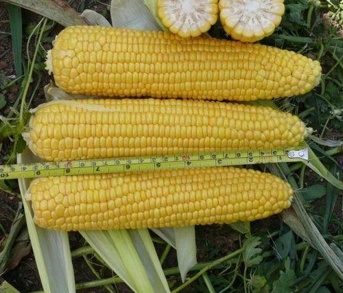 ранняя кукуруза сахарная Добрыня