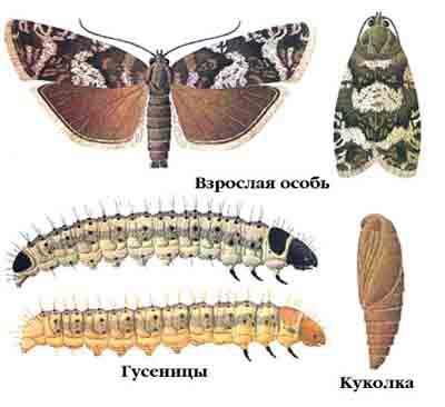 гусеницы и листовертки