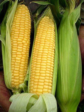 кукуруза Машук 175 МБ