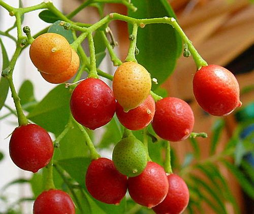 мурайя плоды