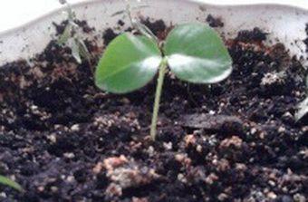 мурайя росток