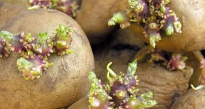 проращивание картофеля к посадке
