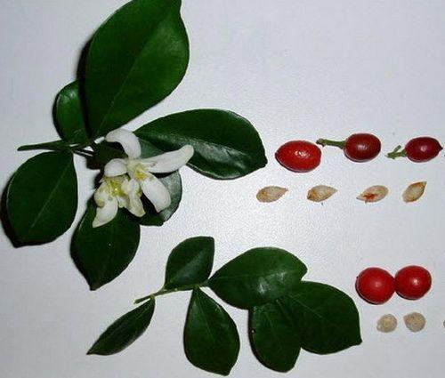 семена мурайи