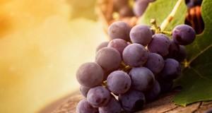 Виноград для Подмосковья