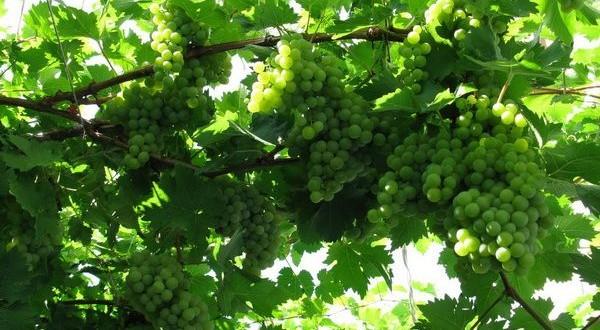 подвязанный виноград