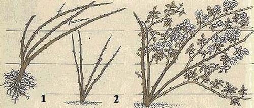 подвязка роз