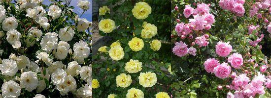 розы клайминги