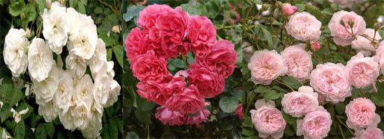 розы рамблеры