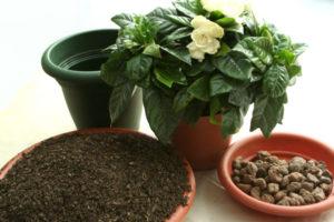 Peresadki-gardenii-1