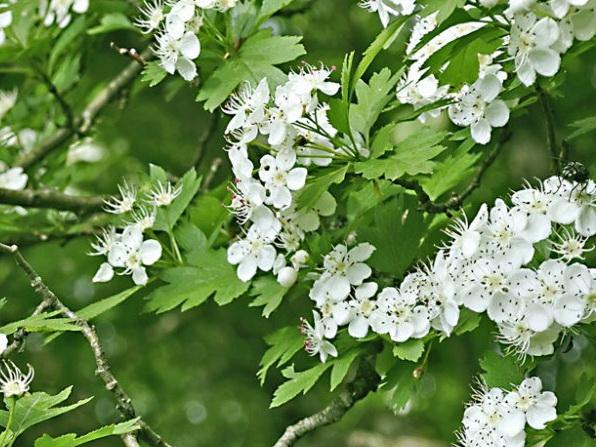 bojaryishnik-cvetjot