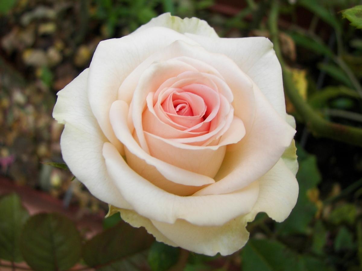 самыми важными самая красивая роза отзывы течение всего