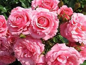 remontantnye-rozy