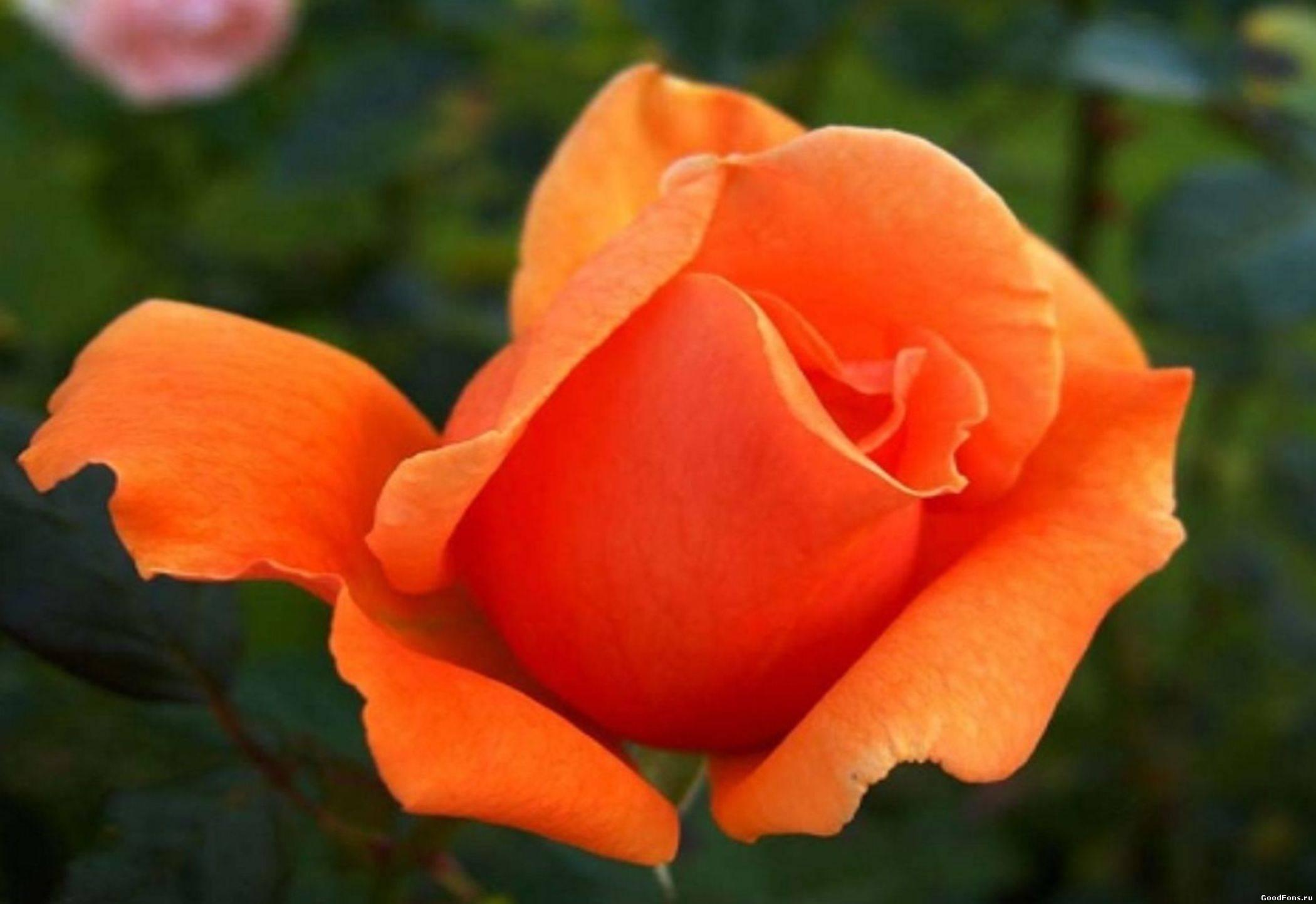 Розы цветы с названием и фото