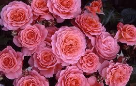 roza-3