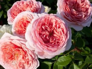 виды роз