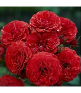 roza-poliantovaya-cordula-(kordula),-vysota-50-70-sm-350x400