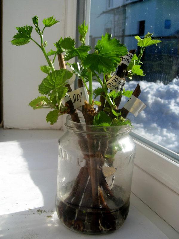 Как посадить виноград из черенков в домашних условиях 707