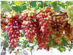 vinograd-6