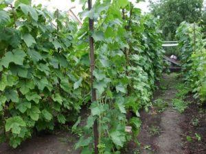 vinograd2 (1)
