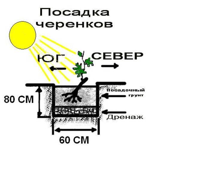Как сажают виноград в сибири 254