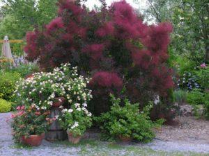 кустарники с красной листвой