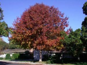 с красной листвой