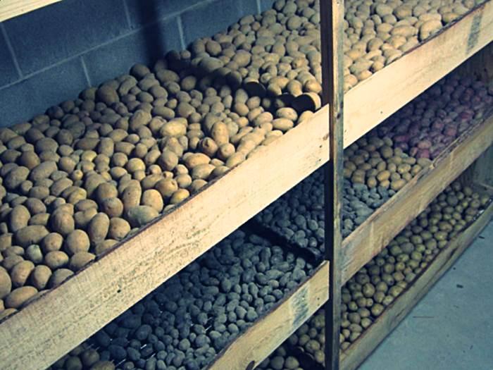 Организация хранения картофеля