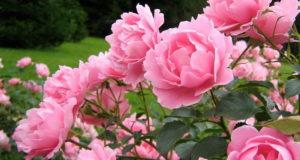 как вырастить розы, посадка роз видео