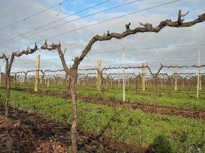 формирование винограда веерное, кордон