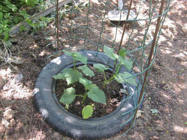 Комнатный сюрприз томат выращивание 14