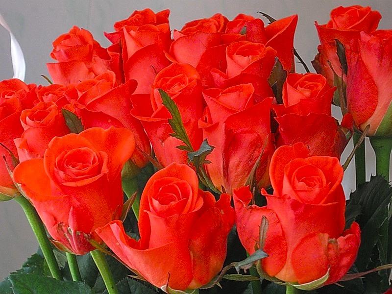 картинки розы алые