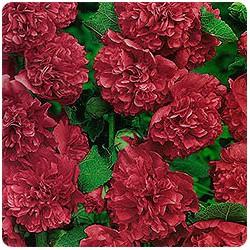 Шток роза многолетняя