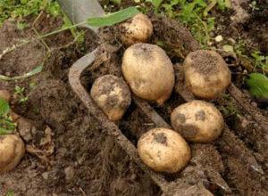 картофелю