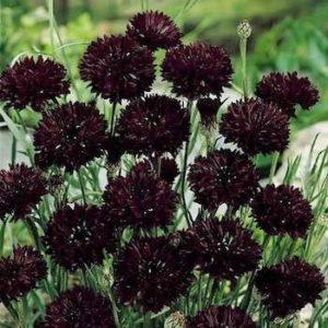 Цветы васильки фото