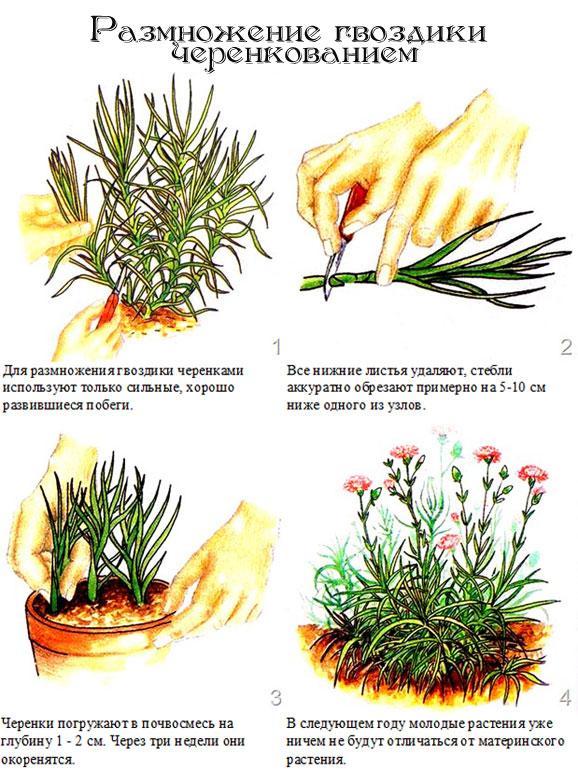 Гвоздика выращивание из семян в домашних условиях - NicosPizza.Ru