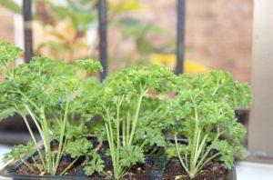 зелень выращивание