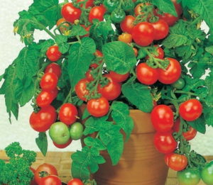какие овощи можно вырастить зимой на подоконнике