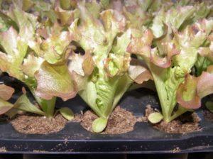 выращивать салат