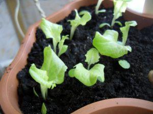 выращивать салат на подоконнике