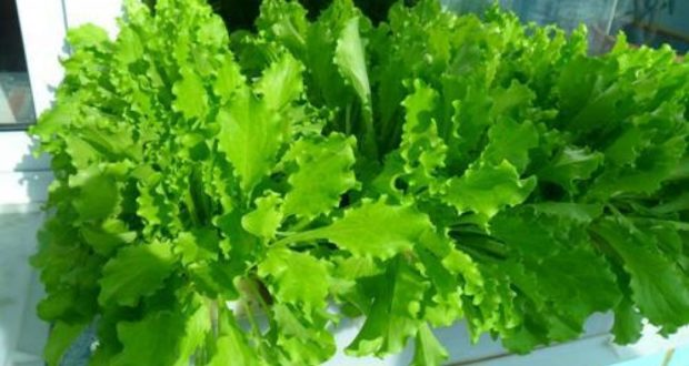 как вырастить салат на подоконнике