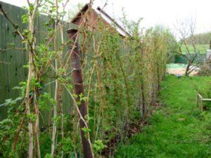 обрезка малины весной
