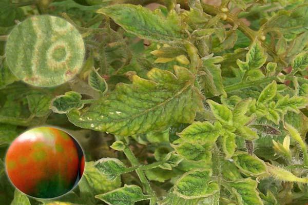 болезни помидоров фото