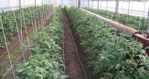 схема посадки томатов в теплице