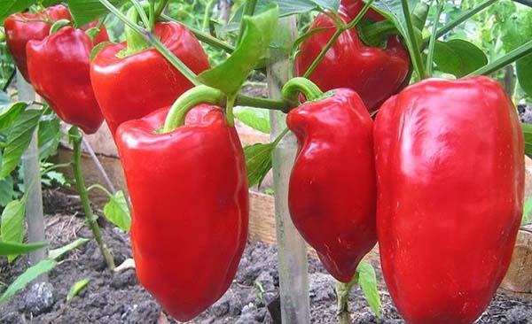 подкормка рассады томатов и преца
