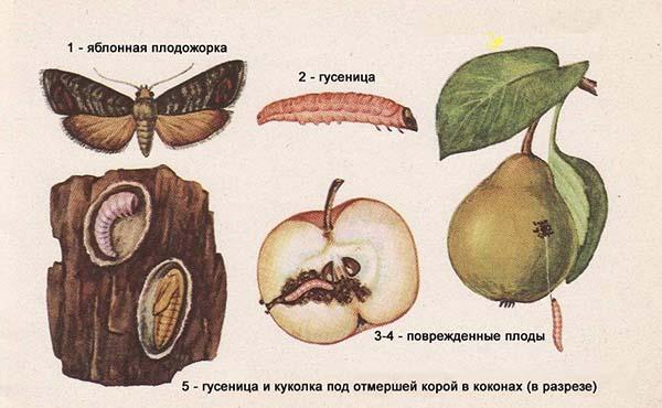 червивое яблоко - яблонная плодожорка