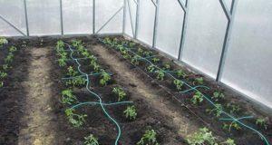 как поливать томаты в теплице