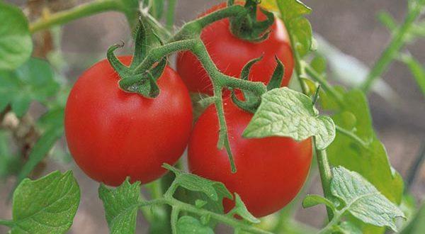 как поливать томаты в открытом грунте
