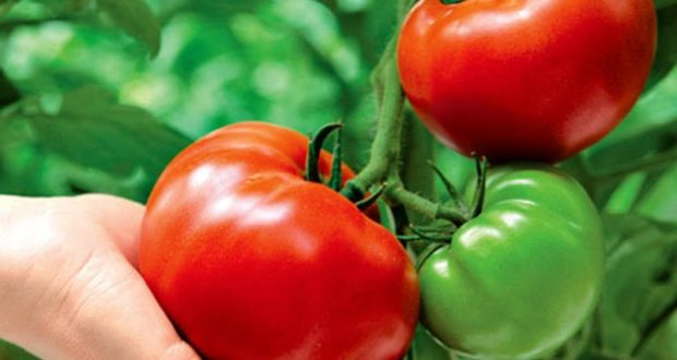 подкормка рассады томатов и перца