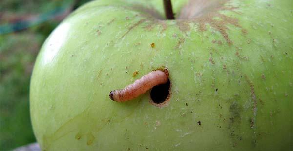 червивое яблоко